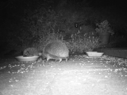Hedgehogs caught feeding on volunteer David Merry's trail camera