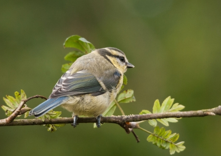 A juvenile blue tit with yellow cheeks sitting on a twig