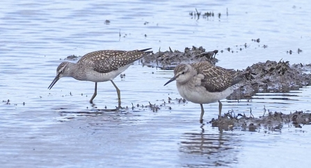 A pair of wood sandpipers foraging in the mud at Lunt Meadows