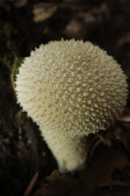 A fresh common puffball mushroom growing out of the leaf litter