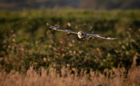 A short-eared owl flying over grass at Lunt Meadows nature reserve