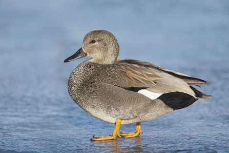 A male gadwall standing on ice