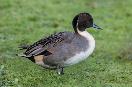 A male pintail duck standing on grass