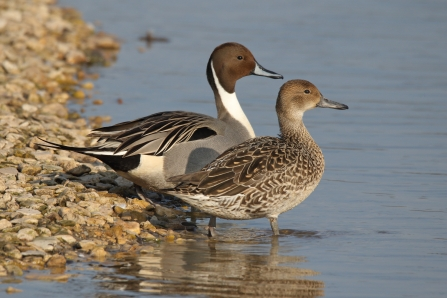 A female and male pintail duck standing side by side on the shore of a lake