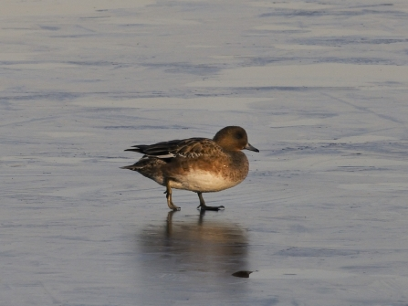 A female wigeon walking tentatively over a frozen lake