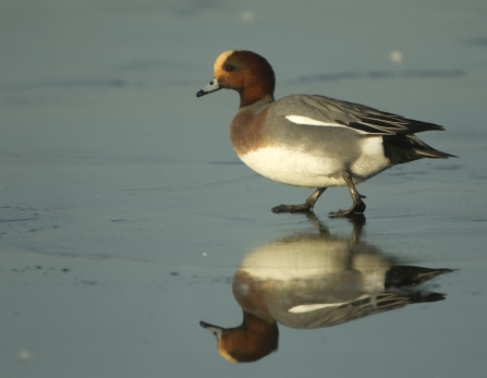 A male wigeon walking on ice