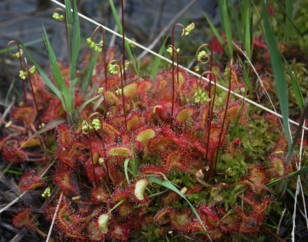 Sundew is a carniverous peatland plant that lives on Winmarleigh Moss