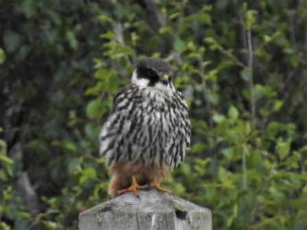 A hobby perching on a fencepost