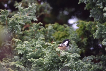 A coal tit perched amongst tree leaves