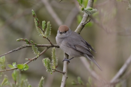 A female blackcap with a chestnut head perched on a twig