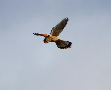 A kestrel hovering in the wind against a blue sky
