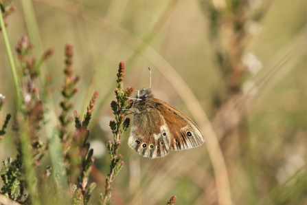 Large heath butterfly at Astley Moss