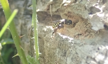 Ectemnius sp female bringing a hoverfly back to her nest by Hawk Honey