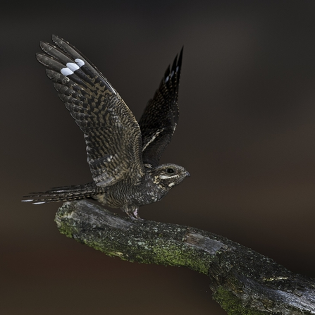 Male nightjar alighting on a branch at dusk with its wings outstretched