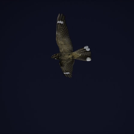 Male nightjar flying at night, displaying the white markings on its wings and tail