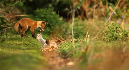 Communal Living And Screams In The Night The Secret Lives Of Foxes The Wildlife Trust For Lancashire Manchester And North Merseyside