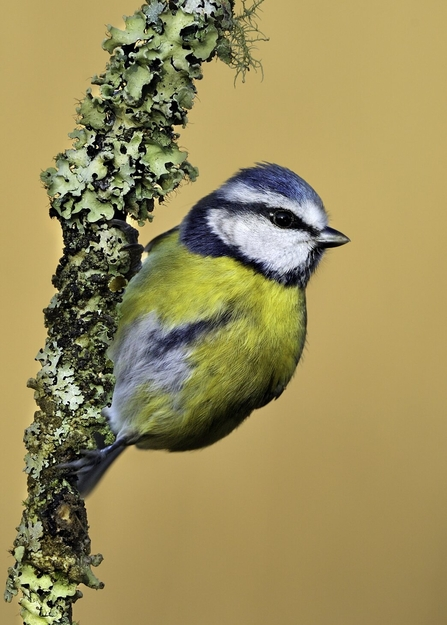 A blue tit clinging to a twig covered in lichen