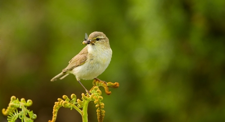 A willow warbler perched on a fern with insects in its beak