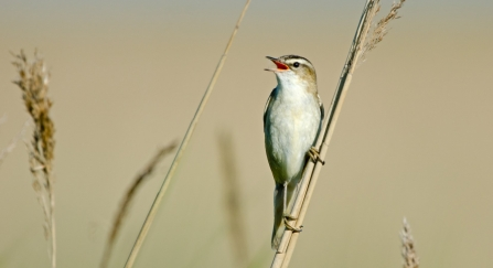 A sedge warbler perched on a reed and singing