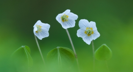 Three wood sorrel flowers growing on the forest floor