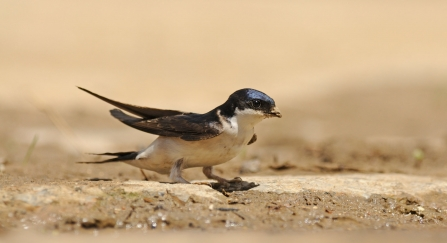 A house martin perched on the ground