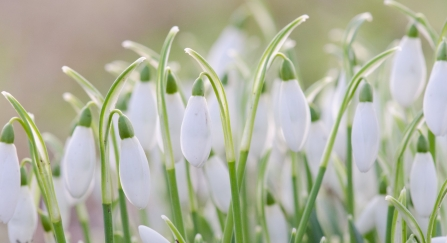 A bunch of snowdrops backlit by the sun