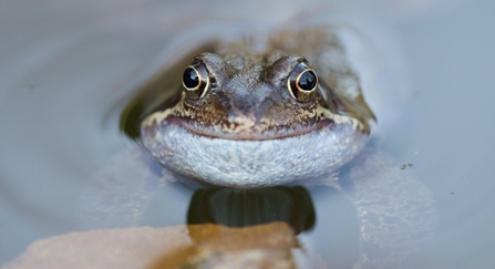 A common frog that looks like it's smiling, resting in a pond