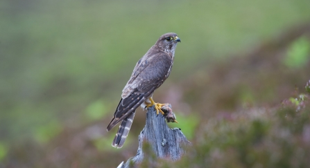 Harriers Hawks And Falcons Oh My How To Identify Birds Of Prey The Wildlife Trust For Lancashire Manchester And North Merseyside