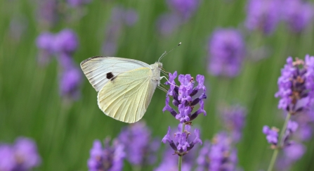 A large white butterfly feeding on lavender flowers