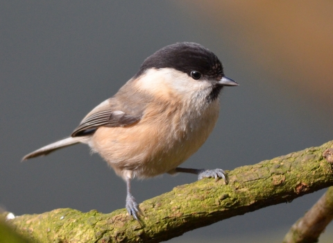 Willow tit - Adam Jones