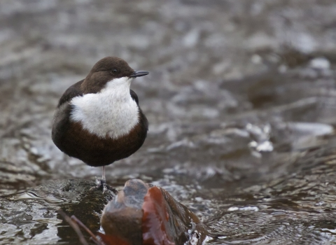 A dipper resting on a rock in a river at Seven Acres on the Kingfisher Trail