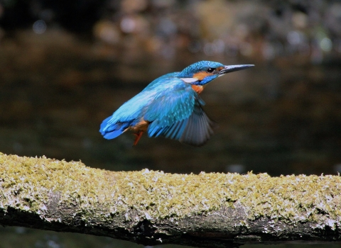 A kingfisher taking flight from a branch across a river on the Kingfisher Trail