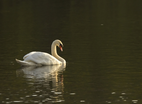 A swan swimming on a lake at Moses Gate Country Park