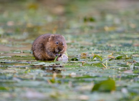 A water vole sitting in a pond and eating vegetation