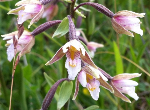 Marsh helleborine at Nob End SSSI on the Kingfisher Trail