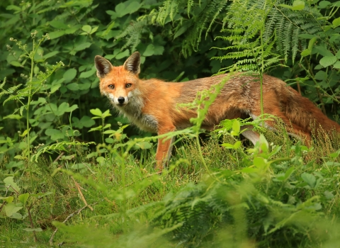 A fox standing in the bushes and looking into camera