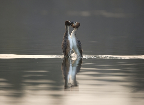 Great-crested grebes performing their amazing courtship display