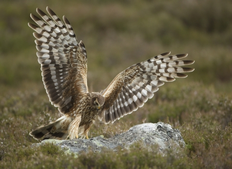 Hen Harrier by Mark Hamblin/2020VISION