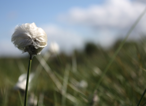 A head of cotton grass growing on Cadishead Moss nature reserve