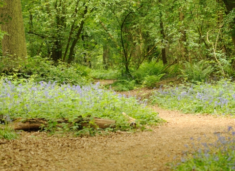 An accessible path through a bluebell wood