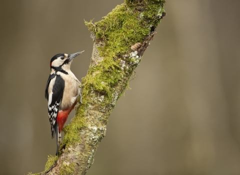 A great-spotted woodpecker climbing up the trunk of a mossy tree