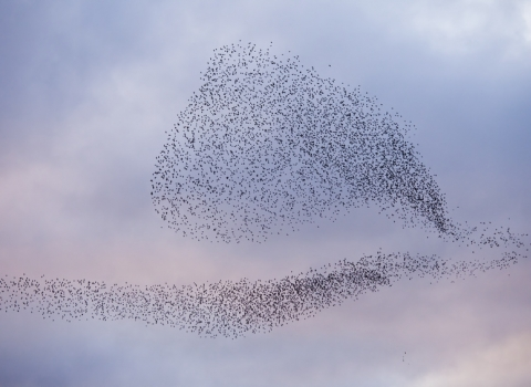 Starlings forming intricate shapes as they murmurate