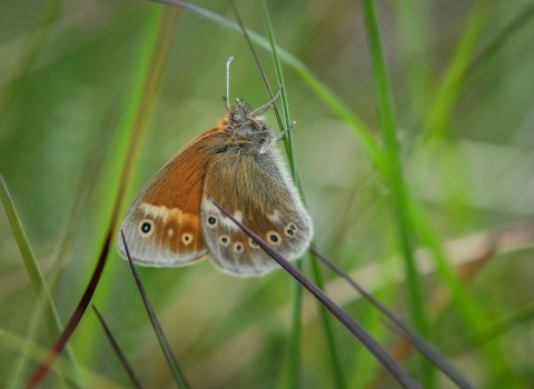 A reintroduced large heath butterfly after release