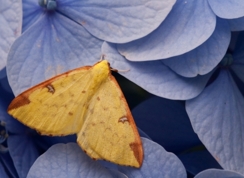 A brimstone moth resting on blue hydrangea flowers