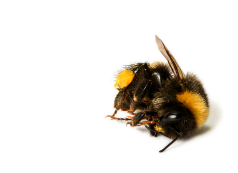 A dead bumblebee lying on the floor against a white background