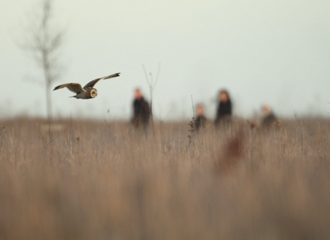 A short-owl hunts as people watch on in the background