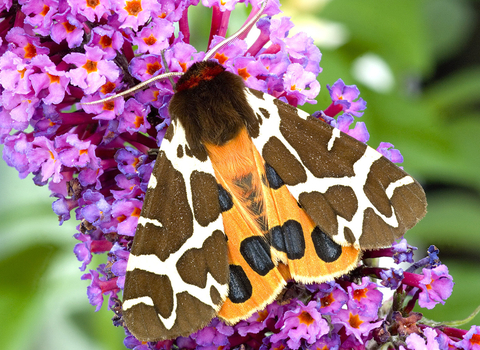 A garden tiger moth resting on buddleia during the day