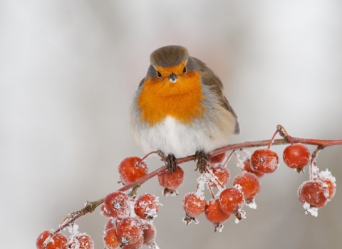 Robin perched on a tree branch covered in frost during winter