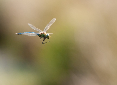 An emperor dragonfly in flight on a bright sunny day