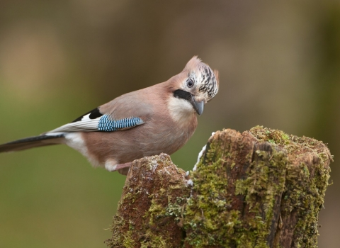 A jay standing on a tree stump where it has cached some acorns